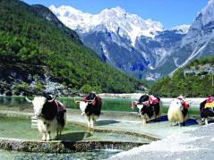 在西藏結婚,一般以犛牛作為禮金