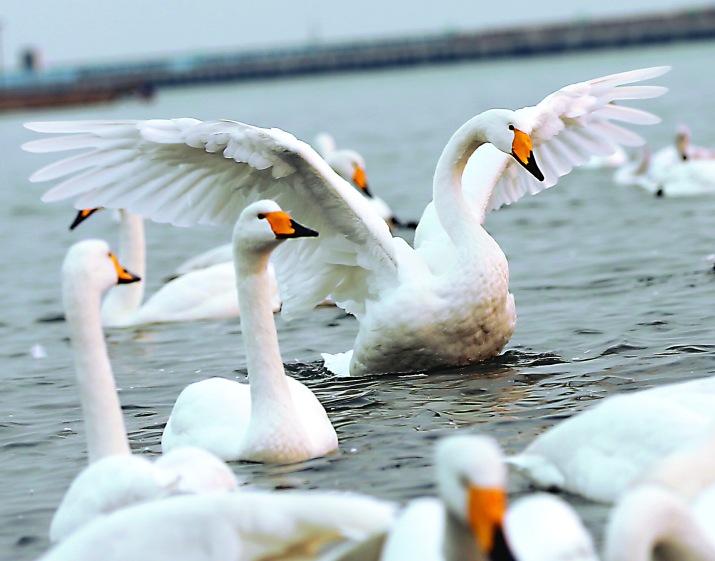 #(環境)(3)天鵝湖面舞