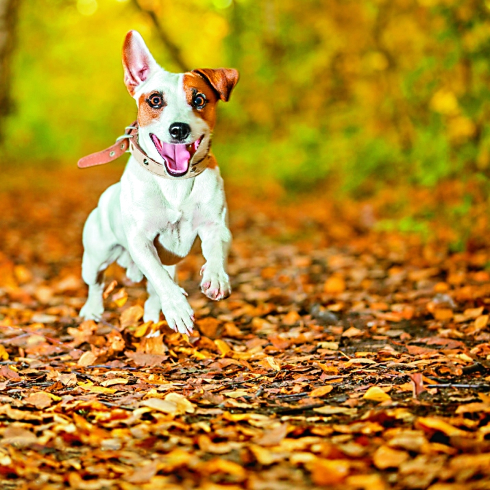 Running dog at autumn